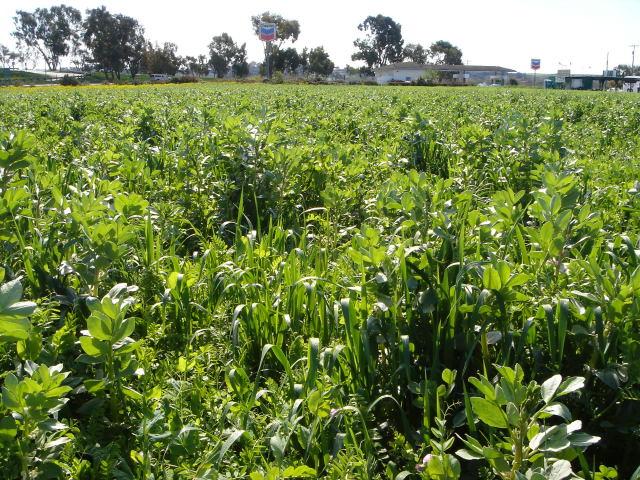 CALIFORNIE > Les champs au repos sous le couvert d'engrais verts